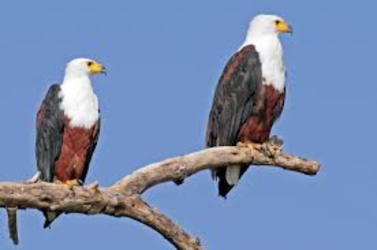 Fish Eagles at Mackers